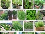 Chia sẻ cách trồng rau thơm tại nhà, vừa sạch vừa ngon