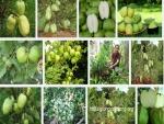 Kỹ thuật trồng Ổi không hạt hiệu quả, cho năng suất cao