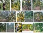 Kỹ thuật trồng Bưởi Diễn ít bệnh, năng suất cao