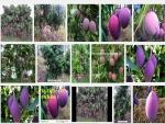 Kỹ thuật trồng và chăm sóc cây Xoài Tím ít sâu bệnh