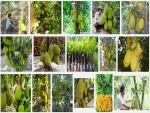 Hướng dẫn kỹ thuật trồng giống Mít Nghệ cao sản