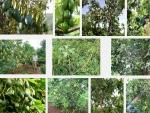 Kỹ thuật trồng và cách chăm sóc cho cây Bơ ra quả sai, trĩu cành