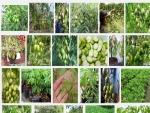 Kỹ thuật trồng và chăm sóc cây Cóc Thái