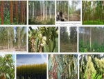 Kỹ thuật trồng cây Bạch đàn
