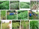 Kỹ thuật trồng và chăm sóc cây Sả
