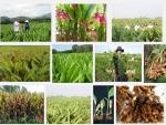 Kỹ thuật trồng cây Nghệ
