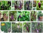 Hướng dẫn kỹ thuật trồng cây cà Tím