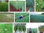 Kỹ thuật trồng cây hành Lá xanh tốt, năng suất cao