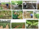 Kỹ thuật trồng và chăm sóc cây Sắn Dây cho năng suất tốt