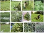 Kỹ thuật trồng và chăm sóc cây rau Nhút