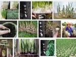 Kỹ thuật trồng cây Tỏi