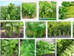 Kỹ thuật trồng và chăm sóc cây rau Cần tây