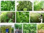 Kỹ thuật trồng và chăm sóc cây Mướp Đắng