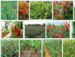 Kỹ thuật trồng cây Ớt