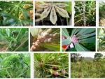 Sâu bệnh hại thường gặp trên cây Sắn và cách phòng trị