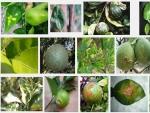 Các loại sâu bệnh hại cây cam quýt bưởi và cách phòng trị (P3)