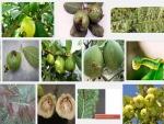 Các bệnh thường gặp trên cây Ổi