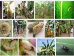 Các loại sâu bệnh hại cây Chuối và biện pháp phòng trừ