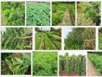 Kỹ thuật trồng và chăm sóc cây Cẩm Lai