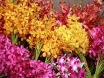 Kỹ thuật kích thích cho lan Mokara ra hoa đúng Tết
