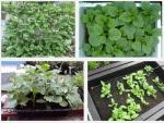 Bí quyết trồng rau mồng tơi sạch tại nhà ăn không hết