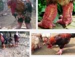 Kinh nghiệm lựa chọn gà Đông Tảo thuần chủng
