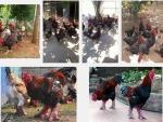 Mô hình nuôi gà Đông Tảo thả vườn hiệu quả