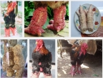Giá gà Đông Tảo và giá trị của loại gà quý hiếm này