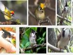 Những bệnh thường gặp ở chim Chào mào