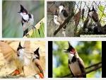 Cách huấn luyện cho chim chào mào hót hay