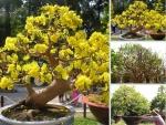 Dịch vụ chăm sóc mai sau Tết - mai vàng, bonsai, nhất chi mai, mai ghép, mai đỏ, mai trắng, mai kiểng trong chậu