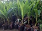 Nông Nghiệp Nhanh tư vấn top các giống dừa lấy dầu