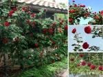 Nhà vườn bán gốc hồng cổ Hải Phòng - Nông Nghiệp Nhanh tư vấn cách chăm sóc, cắt tỉa hồng leo