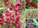 Nông Nghiệp Nhanh giới thiệu nơi chuyên sỉ, lẻ hoa Atiso đỏ tươi