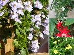 Nông Nghiệp Nhanh giới thiệu Top 25 cây leo có hoa thơm, đẹp quanh năm
