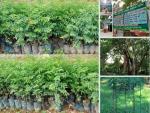 Vườn ươm mun sừng giống cung cấp cây con, hạt giống tại Nông nghiệp nhanh