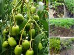Địa chỉ mua cây giống cóc thái ở Hà Nội tại Nông nghiệp nhanh