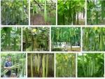 Hướng dẫn kỹ thuật trồng và chăm sóc cây Mướp