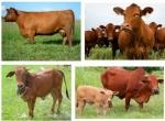 Kỹ thuật chọn bò giống sinh sản và cách phối giống cho bò
