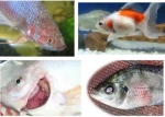 Một số bệnh thường gặp ở cá và biện pháp phòng trị