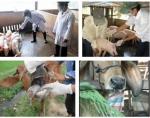 Phòng và trị các bệnh thường gặp ở trâu bò