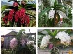 Phương pháp cho lan Ngọc điểm ra hoa đúng tết