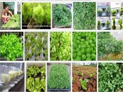 Hướng dẫn trồng rau xà lách ăn sống sạch tại nhà đơn giản, an toàn