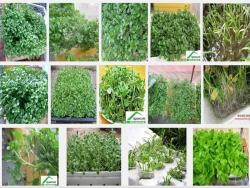 Hướng dẫn cách trồng rau cải xoong sạch tại nhà