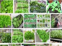 Trồng rau sạch tại nhà với phương pháp đơn giản, dễ trồng và hiệu quả