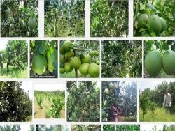 Kỹ thuật trồng Bưởi da xanh cho quả sai, không bị đắng