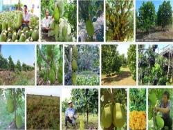 Cách trồng mít Thái không hạt siêu sớm đơn giản