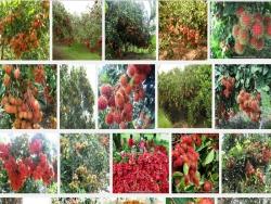 KInh nghiệm, kỹ thuật trồng cây Chôm Chôm Thái
