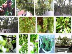Kinh nghiệm trồng Nho trên sân thượng tại nhà cho quả sai chín mọng