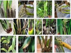 Cách phòng trị các loại bệnh và sâu hại khi trồng lan Cát lan